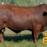 Bulls with Sire & Dam11