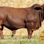 Bulls with Sire & Dam14