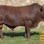 Bulls with Sire & Dam15