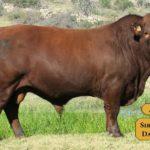 Bulls with Sire & Dam17