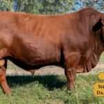 Bulls with Sire & Dam2