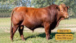 Bulls with Sire & Dam6