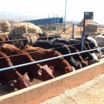 Karan Beef Feedlot Calves