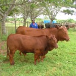 Bathurst Show Cow & Calf