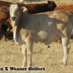 Beef Bros Females
