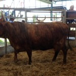 Fat cow sold by CH Cockcroft