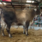 Winning Fat ox Sold for R17600 weighing 1060kg belonging to Wallo Currie
