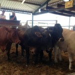 Oxen Sold by Lindale Trust for R10000