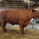 An Ox sold for R14200 by Wendel & Charlie Muir