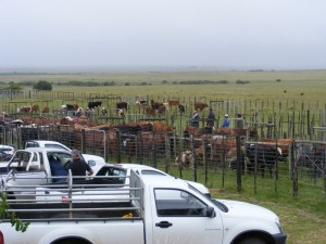 Cattle on auction on the day
