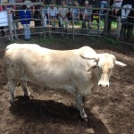 Champion of the Yard Ox- Belonging to Lochard and Hugh Ainslie Weighing 995kg and selling for R16200