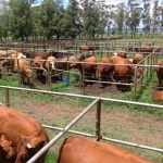Bedford Competition Cattle