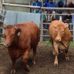 Bedford Competition Oxen