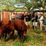 winners pregnant heifer comp (2)