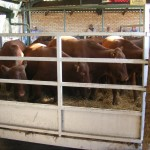 Cattle on offer at the recent Charlgrove Sale