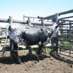 Open Heifers averaged R6147.37