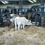 Lot 37 a 3-in-1 Cow & calf sold for R12000 by Qhina Ngunis
