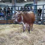 Pregnant Heifer sold for R7500 by Qhina Ngunis