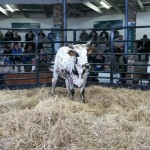 Top Priced Pregnant Heifer sold for R14500