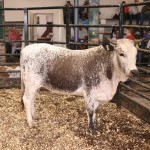 Lot 116- Open Heifer of Slagboom Ngunis sold for R16000