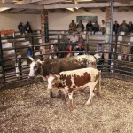 Cows & Calves averaged R9714.29