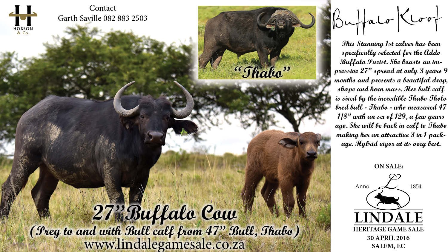 Lindale Sale - 27 Preg Buffalo Cow