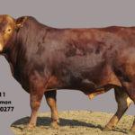 Lot 11 - Cattleman - CM 15 0277