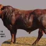 Lot 16 - Cattleman - CM 16 0011
