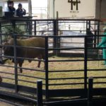 Second highest priced bull lot 4 sold for R55000