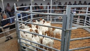 adelaide-goat-sale-2016