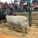 Top Priced Dorper Ram sold for R18000 by Ben van der Westhuizen
