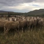 37 Wissel 2T ewes, shorn, running with the ram