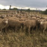 54 wissel 2T ewes, 4 months wool, running with the ram