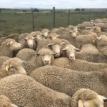 Orchard sale 2T Ewes