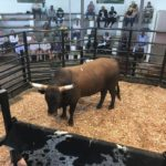 Qhina Ngunis Bull sold for R50000 to Mickey Liddell of Adelaide
