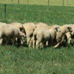 Dormer Lambs