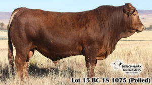 Lot 15 BC 18 1075 (Polled)