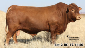 Top Priced bull sold for R190000
