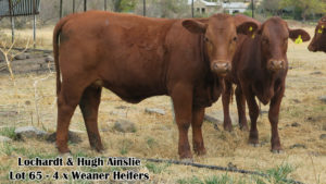 Lochardt & Hugh Ainslie LOT 65 - 4 Weaner Heifers