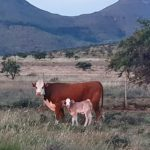 Ashley Phillips Cow & Calf