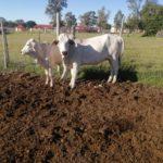 Bulumo Mbambo Cow & Calf