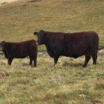Carl Miles Angus Cow & Calf