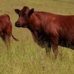 Craig Handley Bonsmara Cow & Calf