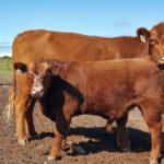 Donald Knott Cow & Calf