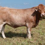 Eugene Osterloh Beefmaster Heifer