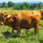 Geoff Bladen Cow & Calf
