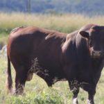 Gerrit Meyer- Bonsmara Bull