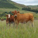 Graeme Currin- Simbra Cow & Calf