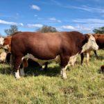 Grant Puttergill- Hereford Bull
