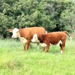 Grant Puttergill Hereford Cow & Calf